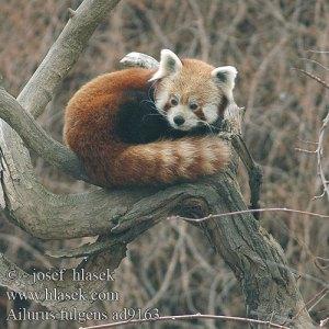 Ailurus è uno dei nomi del panda rosso (non vi ricorda niente? ) nelle impostazioni di sistema è presente un dettagliato menu per la configurazione di firefox.